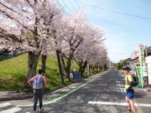 3桜通り20160409