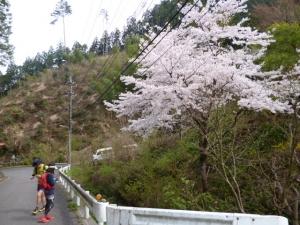 8山桜20160409