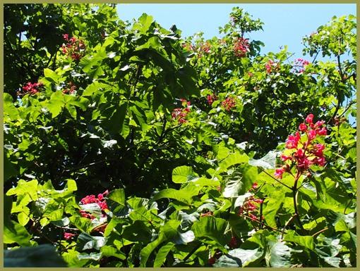 マロニエの花-1