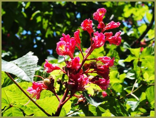 マロニエの花ー2