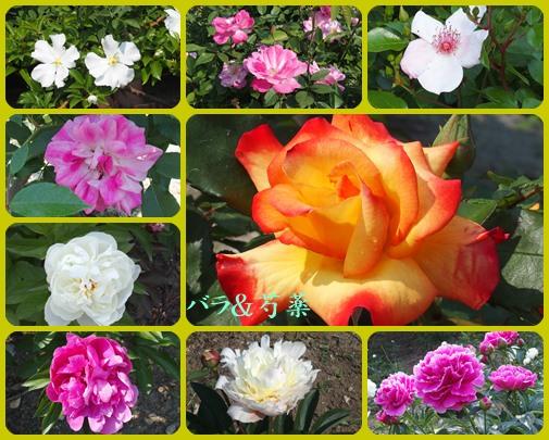 バラと芍薬