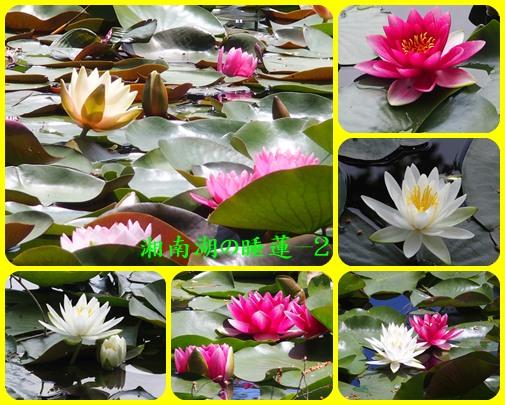 湘南湖の睡蓮ー2