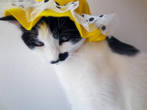 くぅ黄色帽子おすましちゃん