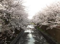 20160406仙川公園桜1