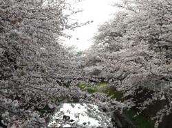 20160406仙川公園桜2