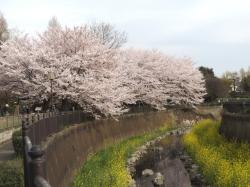 20160406仙川公園桜3.JPG