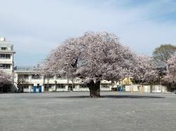 20160407三鷹二小の桜2