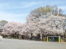 20160407三鷹二小の桜3