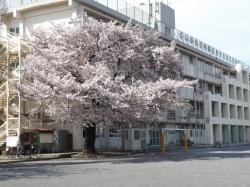 20160407三鷹二小の桜4