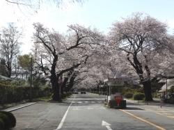 20160406ICU桜