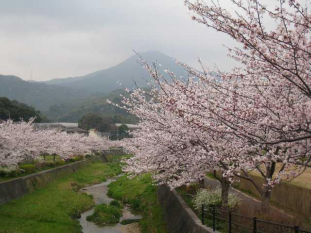 IMG9974JPG貫川の桜と貫山