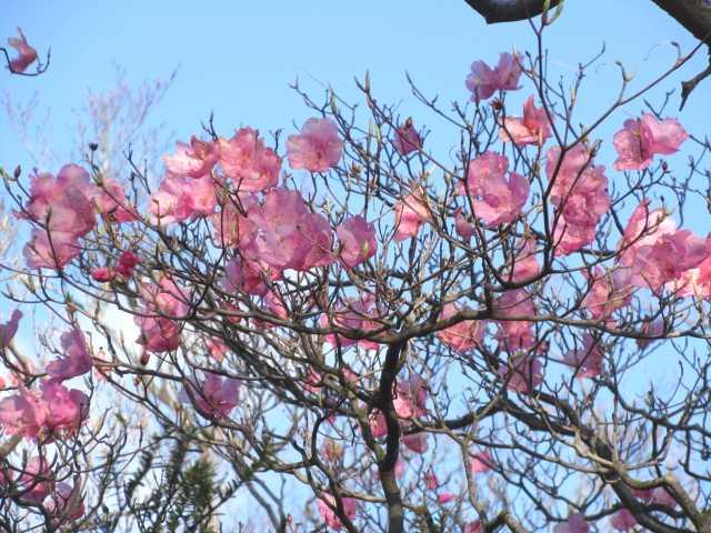 IMG2475JPG山の貴婦人も強風にさらされ落花を強いられる2
