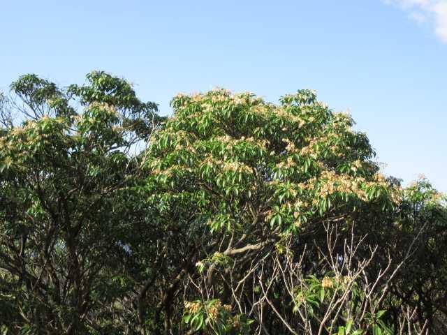 IMG2510JPGアセビの大木に花が