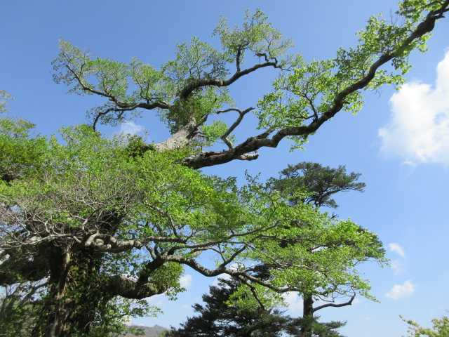 IMG2540JPG新緑の大木