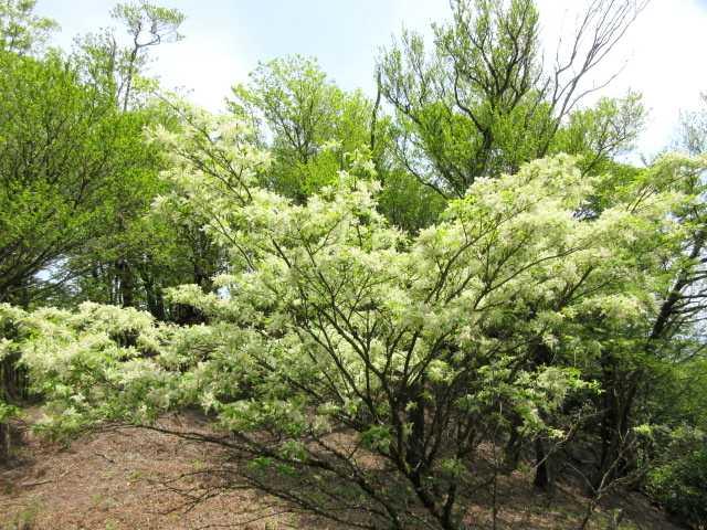 IMG2743JPG白い花2