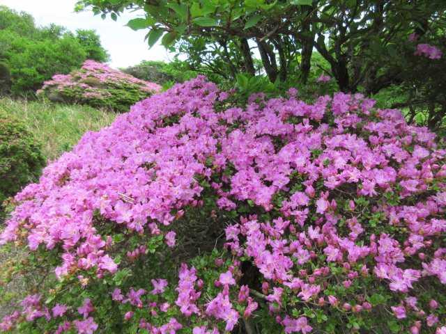IMG3206JPG台地上に咲くミヤマキリシマ