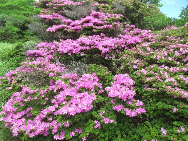IMG3214JPG岩場に咲くミヤマキリシマ