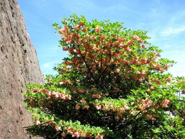 IMG3434JPG大鍋の下りに咲くツクシドウダン