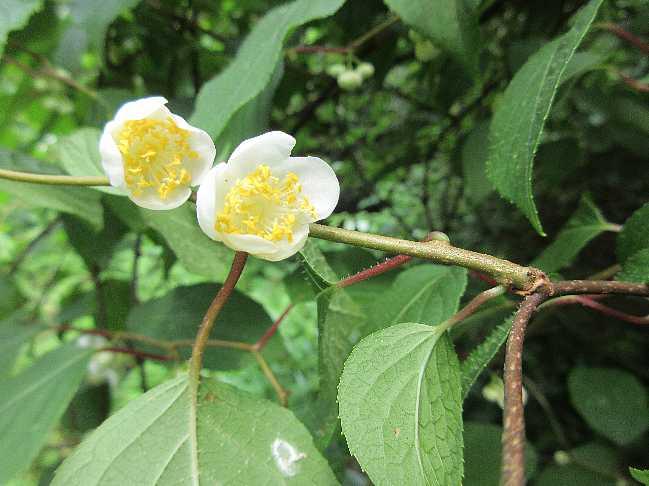 IMG3769JPGマタタビの花