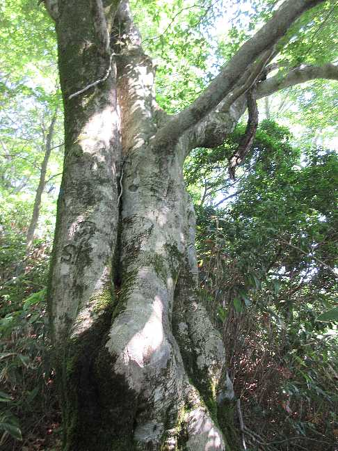 IMG3817JPGブナの大木