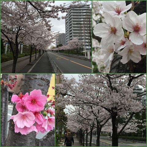 sakura_convert_20160405235404.jpg