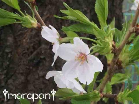 160405 散る桜-2