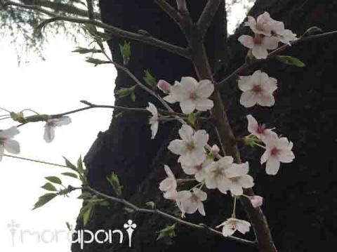 160405 散る桜-3