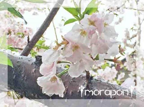 160407 桜筵-1