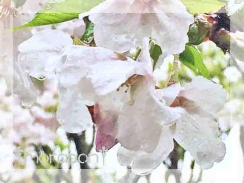 160407 桜筵-2