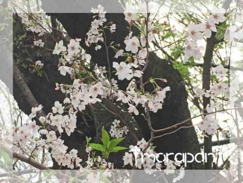 160407 桜筵-3
