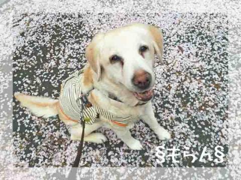 160407 桜筵-4