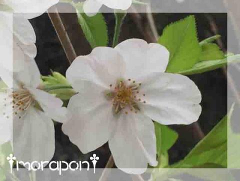 160407 桜筵-5