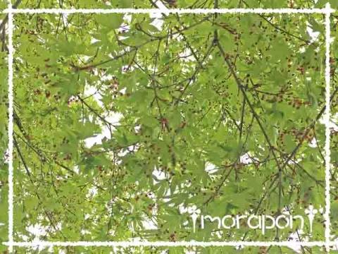 160409 モミジの花と一才桜-1