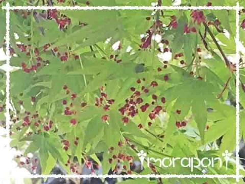 160409 モミジの花と一才桜-2