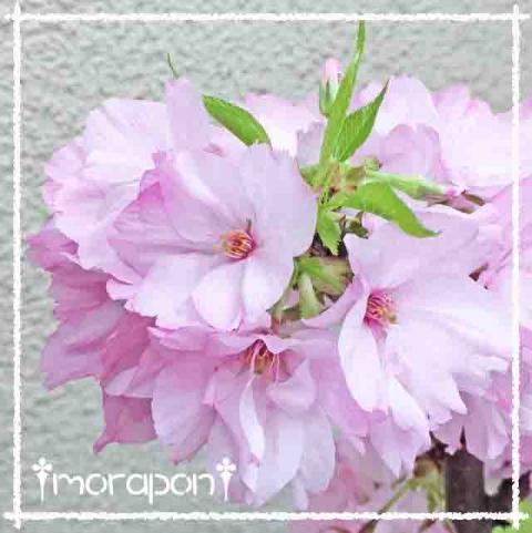 160409 モミジの花と一才桜-4