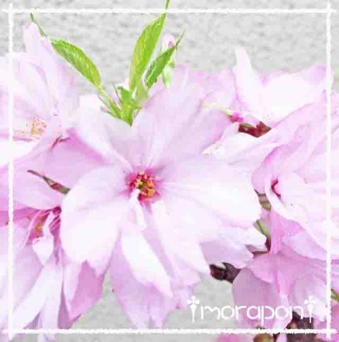 160409 モミジの花と一才桜-5