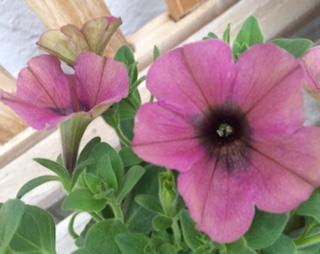 ペチュニア 紫水晶