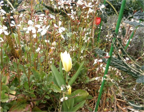 02b 500 20160408 ルッコラ、tulips