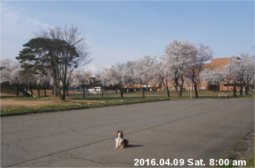 02b 500 20160409 0800 上町PL桜並木 Erie