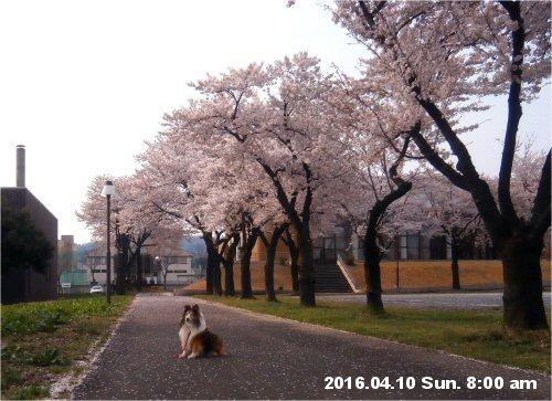 02c 500 20160410 桜並木 Erie