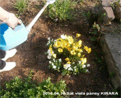 02 500 20160416 First Planting viola pansy kirara