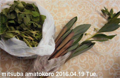 05 500 20160419 ミツバ、アマトコロ from ShizueKaneko