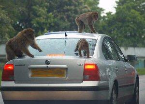 01a 300 monkeys ON a car