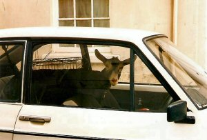 01b 300 Goat in a car