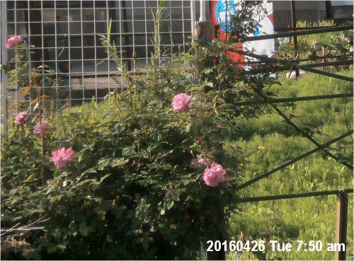 03d 500 20160426 0750 薔薇in LL_garden