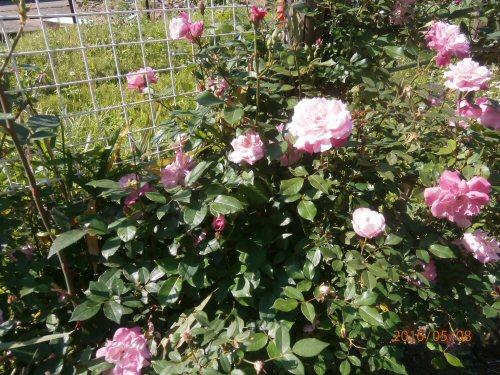 02b 500 20160508 Noguchi-roses LL菜園