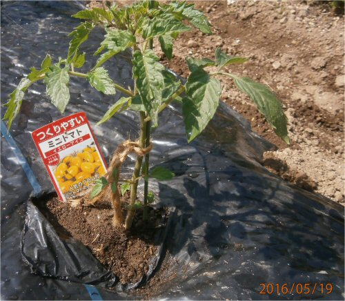 02c 500 20160519 planted mini-tomatoes