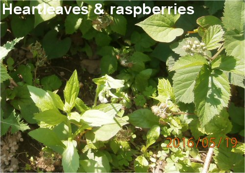 02d 500 20160519 heartleaves raspberries
