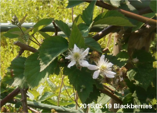 02e 500 20160519 Blackberries Blossoms