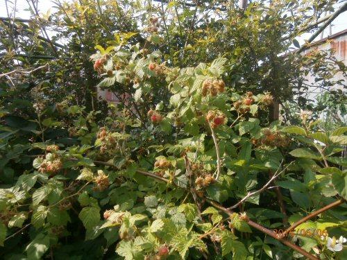 02c 500 20160606 Raspberries